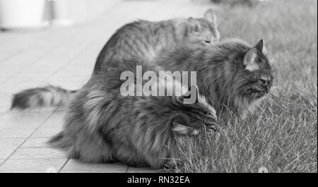 Adorable furry cats of siberian breed in a garden,long haired hypoallergenic pets - Stock Photo