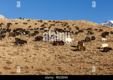 herd of goats grazing in the Himalayas, Nepal - Stock Photo
