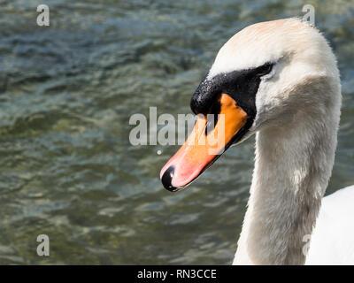 White swan at a lake - Stock Photo