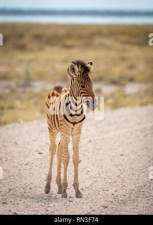 Zebra in Etosha National Park, Namibia, Africa - Stock Photo