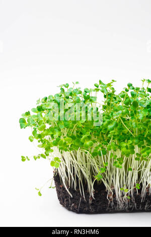 microgreen sprouts Raw sprouts, microgreens, healthy eating concept isolated on white - Stock Photo