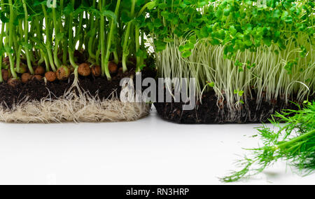 microgreen mustard sprouts Raw sprouts, microgreens, healthy eating concept, mockup for healthy eating and organic restaurant cooking advertisement on - Stock Photo