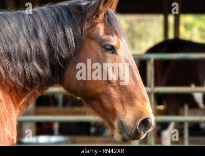 Bay horse head portrait.  Right side of horse head.  Black main, brown head. - Stock Photo