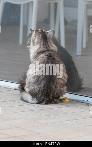 Pretty furry cats of siberian breed in a garden,long haired hypoallergenic pets - Stock Photo