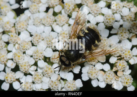 Soldier Fly, Psellidotus sp., on yarrow, Achillea sp. - Stock Photo