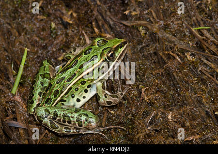 Northern Leopard Frog, Lithobates pipiens - Stock Photo