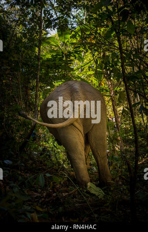 A close up shot of the back of an Asian elephant as it walks through the Thai jungle - Stock Photo