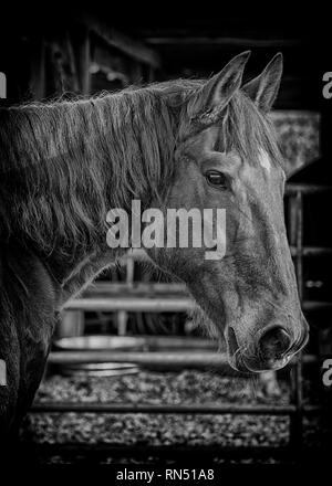 Portrait of a bay horse with blurred barn interior in background. Black and white image. - Stock Photo