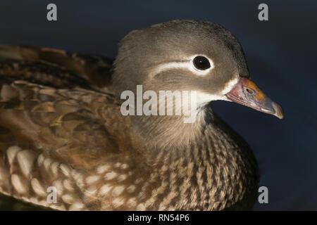 A head shot of a pretty female Mandarin duck (Aix galericulata) swimming on a lake in the UK. - Stock Photo