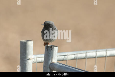A beautiful male Black Redstart, Phoenicurus ochruros, perching on a  wire fence. It is hunting for insects to eat. - Stock Photo