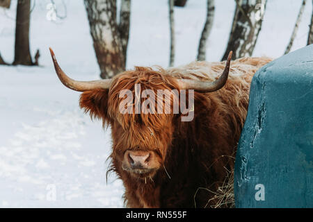 Portrait of highland cattle brown cow standing near green rack in winter landscape - Stock Photo