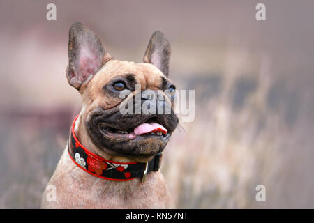 Portrait of a female fawn French Bulldog dog with a happy face and big smile wearing a red floral collar on blurry field background - Stock Photo