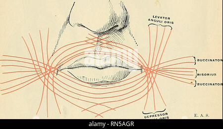 . Anatomy, descriptive and applied. Anatomy. THE BUCCAL It EG ION 375 upper lip. Other fibres of the muscle, situated at its upper and lower part, pass across the lips from side to side without decussation. Superficial to this stratum is a second, formed by the Levator and Depressor anguli oris, which cross each other at the angle of the mouth, those from the Depressor passing to the upper lip, and those from the Levator to the lower lip, along which they run to be in- serted into the skin near the median line. Li addition to these there are fibres from the other muscles inserted into the lips - Stock Photo