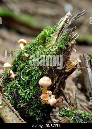 Hypholoma capnoides, Conifer Tuft, Fungi, UK - Stock Photo