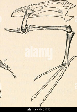 . Animal biology; Human biology. Parts II & III of First course in biology. Biology. FIG. 286.—SKELETON OF BIRD. Rh, vertebrae; Cl, clavicle; Co, coracoid; Sc, scap- ula; St, sternum; H, humerus; R, radius; U, ulna; P, thumb; Fe, femur; T, tibia. See Fig. 394. Questions : Which is the stiflest portion of the vertebral column ? How are the ribs braced against each other ? Which is longer, thigh bone or shin ? Compare shoulder blade with man's (Fig. 399). Which is the extra shoulder bone ? Compare tail vertebrae with those of extinct bird, Fig. 290. FIG. 285.— LEG BONES OF BIRD. middle has j - Stock Photo