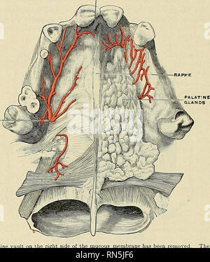 . Anatomy, descriptive and applied. Anatomy. 1202 THE ORGANS OF DIGESTION The Palate (palatum) forms the roof of the mouth; it consists of two portions: the hard palate, about two-thirds in front; the soft palate, about one-third behind. The hard palate {palatum durum) (Figs. 924 and 925) is bounded in front and at the sides by the upper alveolar arches and gums; behind, it is continuous with the soft palate. It is formed by the palate processes of the maxillae and the palate processes of the palate bones (Fig. 72). It is covered by a dense structure formed by the periosteum and mucous membran - Stock Photo