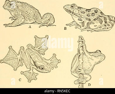 . Animal biology. Biology; Zoology; Physiology. SURVEY OF VERTEBRATES 119 the gardener owes a Toad on his premises nearly twenty dollars at the end of the season. Moreover, the Toad is much maligned by having attributed to it the power to produce warts on the human skin. Tree Frogs and Tree Toads are tiny arboreal forms with soft, adhesive pads on the toe tips. Many of them, such as the common. Fig. 78. -- A, Toad. Bufo americanus. stalking prey; B, Leopard Frog, Rana pipiens; C, Javan Flying Frog. Rhacophorus pardalis; D. Tree Frog, Hyla versicolor. (From Newman, after Dickerson and Lydekker. - Stock Photo
