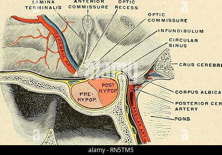 . Anatomy, descriptive and applied. Anatomy. PARTS DERIVED FROM THE FORE-BRAIN 909 The pituitary body or hypophysis^ is a structure of twofold origin, giving rise to a division into a prehypophysis and a posthjrpophysis. Tlie po.sthypophysis alone is of neural origin, developing as a ventral diverticulum from the primitive neural tube. The prehypophysis or epithelial lobe, develops from the stomodeum, or buccal cavity, as a tubular diverticulum (Rathke's), which eventually loses its connection^ with the oral tissues to become included within the cranial cavity and intimately attached to the ne - Stock Photo