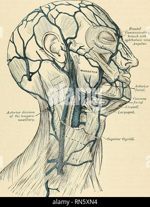 . Anatomy, descriptive and applied. Anatomy. VEINS OF THE EXTERIOR OF THE HEAD AND FACE 711 and empties into the internal jugular vein at the level of the iiyoid line. It receives a large communicating branch at the anterior border of the Sternomastoid muscle, which comes from tlie anterior jugular vein in the suprasternal fossa. Tributaries of Facial Veins.—The facial vein receives, near the angle of tlie mouth, communicating tributaries of considerable size, the deep facial (or anterior in- ternal maxillary vein), from the pterygoid plexus. It is also joined by the inferior palpebral, the su - Stock Photo