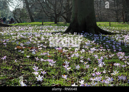 London, UK. 17th Feb, 2019.  Crocuses in bloom in the warm Spring sunshine at Kew in South West London where temperatures reached 15 degrees Celsius. Credit: Julia Gavin/Alamy Live News - Stock Photo