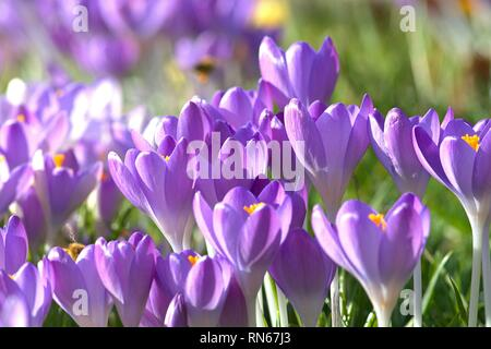 Schleswig, Germany. 16th Feb, 2019. Flowering crocuses in the spring. Fruhbluher with open blood enjoy the first sunshine of the year in a Schleswig garden. Subdivision: Seed plants (Spermatophytina), Class: Bedecktsamer (Magnoliopsida), Monocotyledons, Order: Asparagales (Asparagales), Family: Iris (Iridaceae), Genus: Crocuses | usage worldwide Credit: dpa/Alamy Live News - Stock Photo