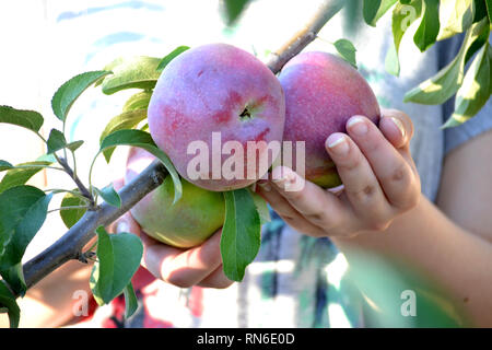 Hand holding apple on tree in orchard, Red Delicious - Stock Photo