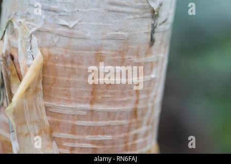 Creamy white bark and a trunk. Close-up shot of a Japanese white birch (Betula platyphylla var. japonica). Tsugaike, Hakuba, Nagano, Japan - Stock Photo
