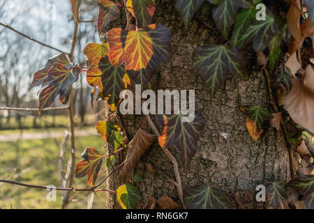 Close-up shot of the gorgeous golden hour vines and leaves growing on an urban park tree - Stock Photo