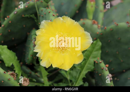 Bright yellow fully open blooming flower of Barbary fig or Opuntia ficus-indica or Prickly pear or Indian fig opuntia or Cactus pear - Stock Photo