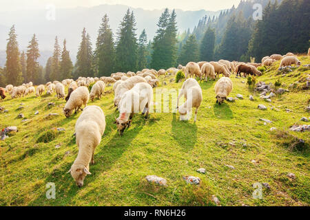 Flock of sheep grazing free in the Carpathian mountains - Stock Photo
