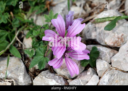 Common mallow or Malva sylvestris or Cheeses or High mallow or Tall mallow spreading herb plant with bright pinkish purple with dark stripes flowers - Stock Photo