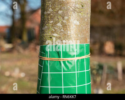 Fruit tree grease band wrapped around an apple tree trunk. - Stock Photo