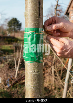 Gardener securing a fruit tree grease band wrapped around an apple tree trunk with a string. - Stock Photo
