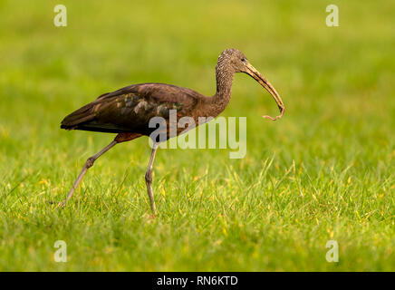 Unusual visitor to Helston a Glossy Ibis frequented an area near Helston Boating Lake/Penrose for a few days in Feb 2019 - Stock Photo