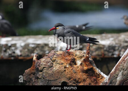 Inca tern (Larosterna inca) in Paracas National Reserve, Peru - Stock Photo