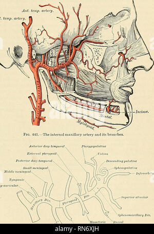 . Anatomy, descriptive and applied. Anatomy. THE EXTERNAL CAROTID ARTERY 599 to and a little below the auriculotemporal nerve; it crosses the inferior dental nerve, and lies along the lower border of the External pterygoid muscle. The second or pterygoid portion runs obliquely forward and upward under coer of the ramus of the mandible, on the outer (very frequently on the inner) surface of the External pterygoid muscle; it then passes between the two heads of origin of this muscle and enters the sphenomaxillary fossa.. ^Buccal r dental ^  Internal pterygoid Fig. 442.—Plan of the branches of - Stock Photo