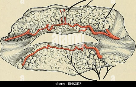 . Anatomy, descriptive and applied. Anatomy. 594 THE VASCULAR 8YSTEMS The inferior labial coronary (Figs. 438 and 439) is derived from the facial artery, near the angle of the mouth; it passes upward and inward beneath the Depressor anguli oris, and, penetrating the Orbicularis oris muscle, runs in a tortuous course along the edge of the lower lip between this muscle and the mucous membrane, anastomoses with the artery of the opposite side. This artery supplies the labial glands, the mucous membrane, and muscles of the lower lip, and anastomoses with the inferior labial from the facial and the - Stock Photo