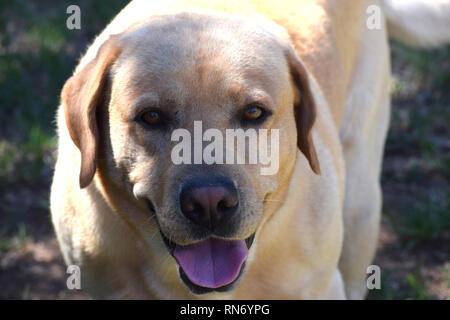 Close up of a labrador retriever - Stock Photo