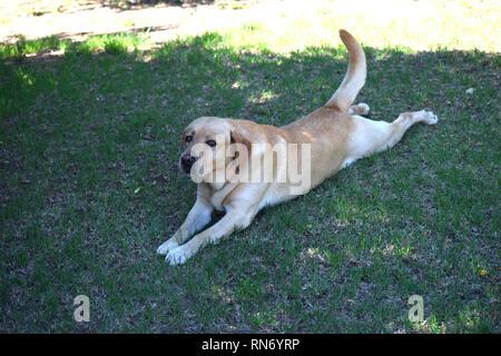 Family labrador laying on grass - Stock Photo