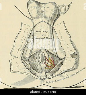 . Anatomy, descriptive and applied. Anatomy. 440 THE MUSCLES AND FASCIA Erector spinae. The Quadratus luinborum extends, however, beyond the outer border of the Erector spinae. Nerve-supply.—The anterior branches of the last thoracic and the first lumbar nerves,- sometimes also a branch from the second lumbar nerve. Actions.—The Quadratus lumborum draws down the last rib. It acts as a muscle of inspi- ration by helping to fix the origin of the Diaphragm. If the thorax and vertebral column are fixed, it may act upon the pelvis, raising it toward its own side when only one muscle is put in actio - Stock Photo