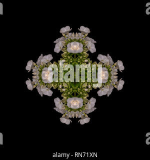 Fine art floral decorative geometrical symmetrical pastel color pattern/ornament/mandala made from macros of white green phloxs on black background - Stock Photo