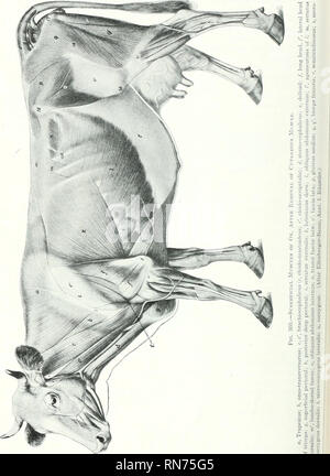 . The anatomy of the domestic animals. Veterinary anatomy. 348 THE MUSCLES OF THE OX. Please note that these images are extracted from scanned page images that may have been digitally enhanced for readability - coloration and appearance of these illustrations may not perfectly resemble the original work.. Sisson, Septimus, 1865-1924. Philadelphia Saunders - Stock Photo