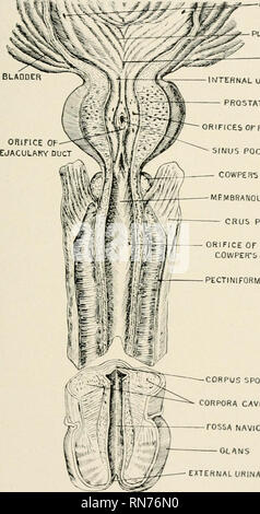 . Anatomy in a nutshell : a treatise on human anatomy in its relation to osteopathy. Human anatomy; Osteopathic medicine; Osteopathic Medicine; Anatomy. ANATOMY IN A NUTSHELL. Action.—To compress the puncta lachrymals againsl the globe of the eye, and to compress the lachrymal sac into a position mosl favorable for re- ceiving the tears. Nerve Supply.—Facial, and perhaps the third nerve. Blood Supply.—Branches from the facial artery. PLATE CCLXXV. ORIFICES OF URETERS PLICA URETERICA TRIGONE WTERNAL URINARY MEATUS PROSTATE GLAND IFICES Or PROSTATIC DUCTS SINUS POCULARIS COWPEIVS GLAND MEMBRANOU - Stock Photo