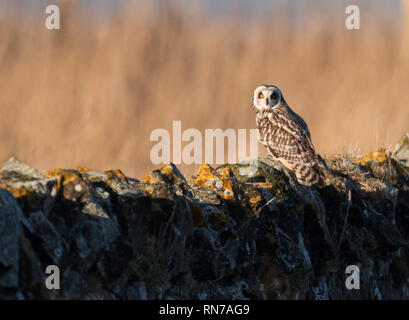 A wild Short Eared Owl (Asio Flammeus) perched on a Northumberland dry stone wall in early morning sunlight - Stock Photo