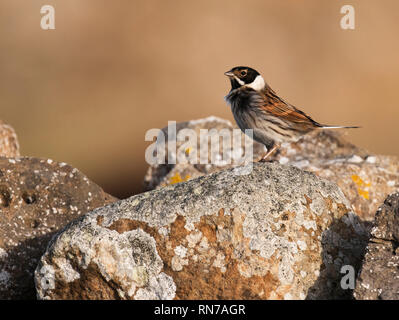 A male Reed Bunting (Emberiza schoeniclus) perched on a dry stone wall, Northumberland - Stock Photo