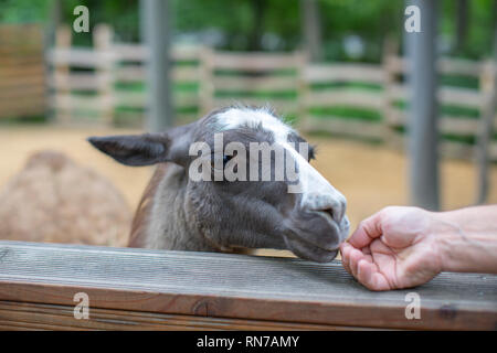 Cute llama animal, llama with long eyelashes - Stock Photo