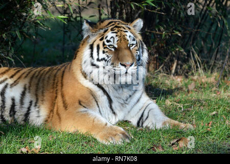 A Siberian Tiger (also called amur tiger) at Woburn Safari Park, Woburn, Bedfordshire, UK - Stock Photo