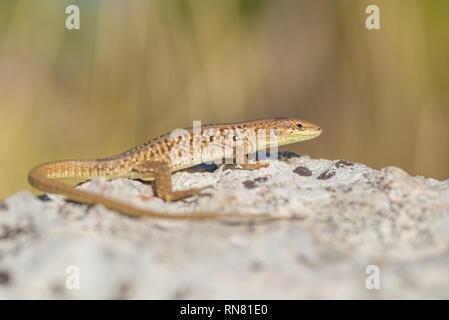 The Italian wall lizard Podarcis sicula in Paklenica Croatia - Stock Photo