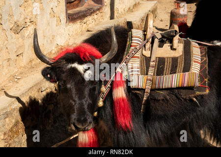 Nepal, Namche Bazaar, man loading Yak with decorated harnesses waiting to be loaded with packs - Stock Photo