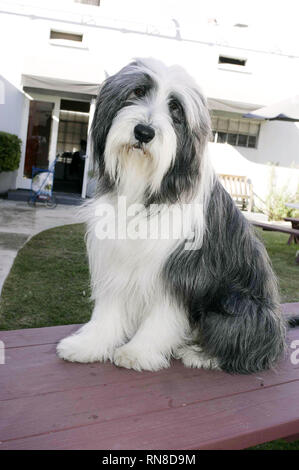 SHEEPDOG, THE SHAGGY DOG, 2006 - Stock Photo